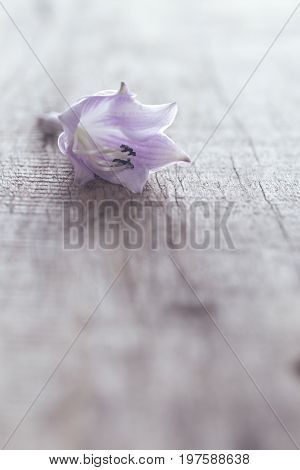 Delicate lilac flower on a gray board. A flower in the form of a hand bell faintly violet on a table from old boards. Rural style close up selective focus. Copyspase bottom