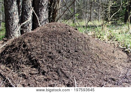 View of the anthill in the forest
