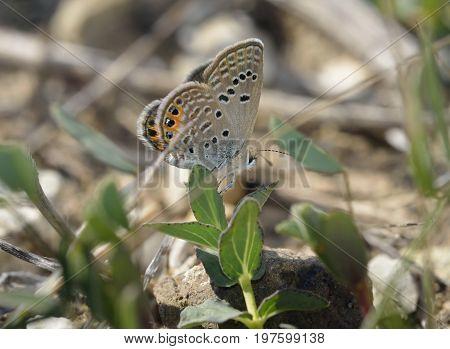 Grass Jewel Butterfly - Chilades trochylus Europes smallest Butterfly