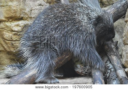 A large porcupine resting on a branch