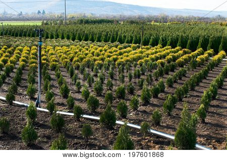 Outdoor garden store center with young seedlings. Plant nursery. Thuja and Cedar.