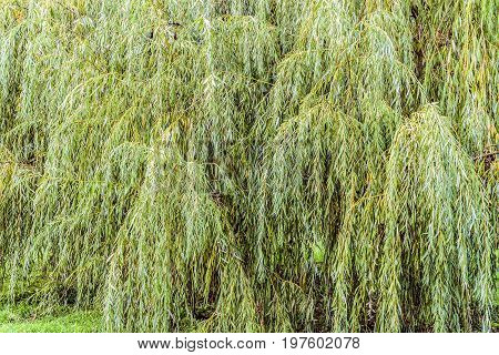 Dense branches of a weeping willow tree. Natural green background.
