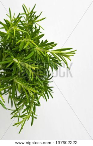 Fresh thyme herb. Fresh organic flavoring thyme plants growing. Nature healthy flavoring thyme cooking. Ingredients for food isolated on white background