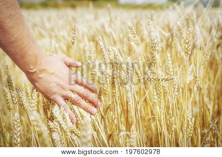 Wheat ears in man's hand. Harvest concept. Hand of farmer touching wheat corn agriculture. Ears of wheat close up. Harvest and harvesting concept. Cereal, Field of golden wheat. Whole grains