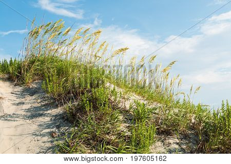 Grassy sand dune on Coquina Beach at Cape Hatteras National Seashore on the Outer Banks in North Carolina.