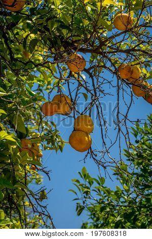 Oranges In The Jardines, Royal Garden Of The Alcazar De Los Reyes Cristianos, Cordoba, Spain, Europe