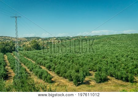 Olive Trees On The Spanish Countryside Of Cordoba, Spain,europe