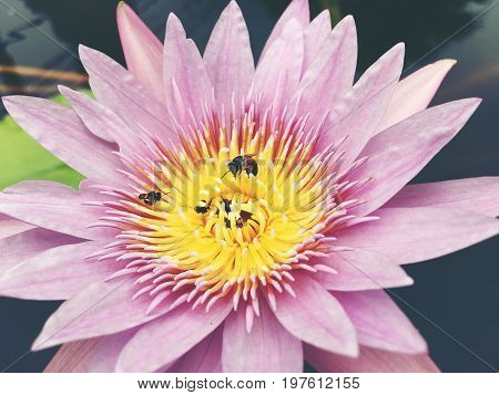 Honey Bee Collects Pollen Showing Its Pollen Baskets And Flies Away On Lotus Flower In The Pond. Sat