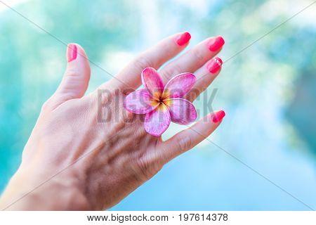 Plumeria frangipani flower in woman hand. Plumeria flower in woman hand.