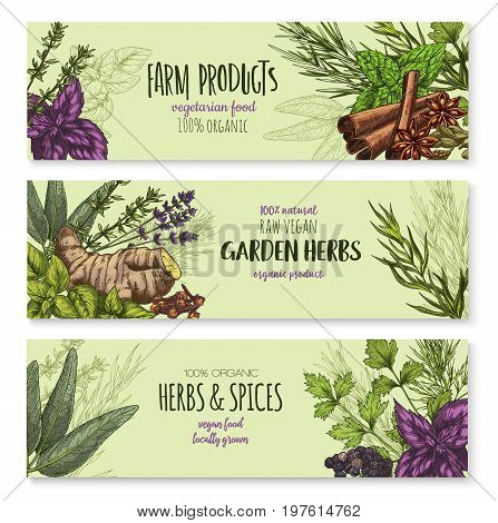 Spices and herbs banners set for farm garden green herbal products. Vector lavender, oregano or parsley and cinnamon seasoning, ginger root or thyme and black pepper, sage or bay leaf and chives dill