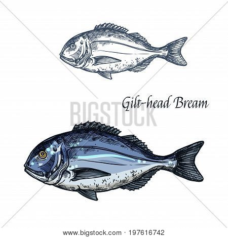 Bream fish vector sketch icon. Isolated sea or atlantic gilt-head bream or dorado fish. Isolated marine fauna symbol for seafood or fish food restaurant sign emblem, fishing club or fishery market