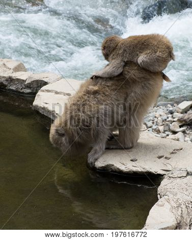 Baby snow monkey perched on mom while she drinks from the hot spring pool.