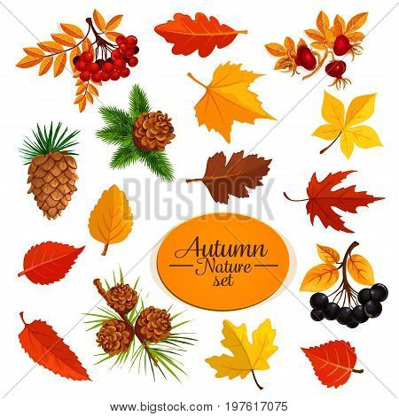 Autumn nature leaves and berries icons. Vector elm, oak or maple and birch tree leaf falling with fir or pine tree cones and acorn, rowanberry or bird-cherry harvest for Thanksgiving or autumn sale