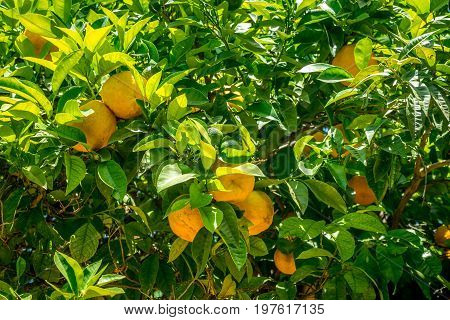 Oranges In The Jardines, Royal Garden Of The Alcazar De Los Reyes Cristianos, Cordoba, Spain, Europe