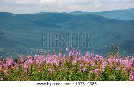 Wild Purple Herbal In Mountains