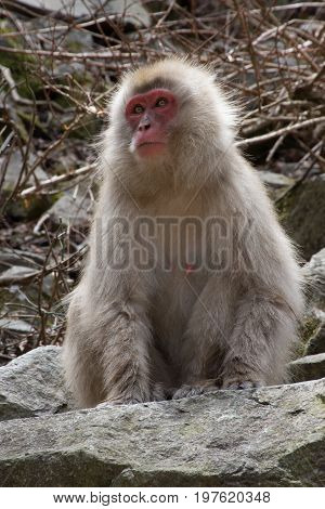 Close up of a female snow monkey sitting on a boulder looking to her right. Shallow depth of field.