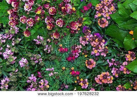 Closeup Of Akelei And Erysium Blossoms.