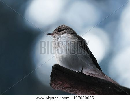 A wagtail of a wagtail on a branch on a blurry white-blue bokeh background. Close-up. Nature.
