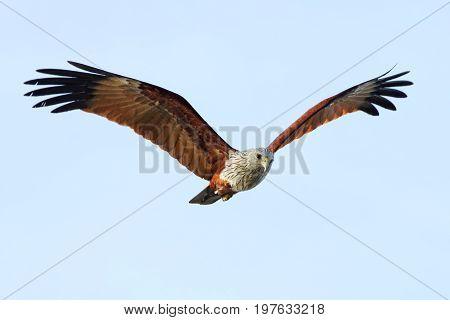 Brahminy Kite Haliastur Indus Birds Flying In The Sky