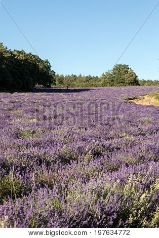Lavender field near Sault in Provence France.