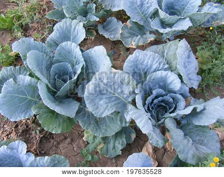 They started to grow slowly in the garden, white cabbage pictures made of wrapped food,
