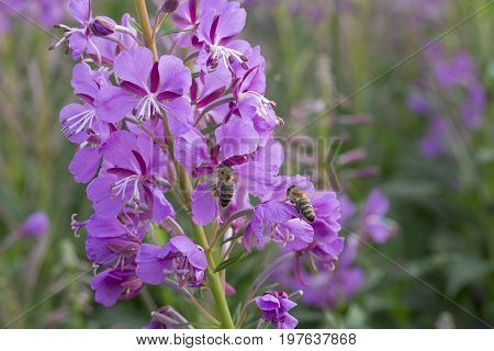 Fireweed Flower Plant with Bee close up.