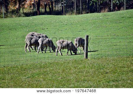 Herd Gray Sheep