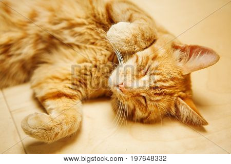 Cute red cat laying on his back at floor with closed eyes. Fluffy domestic pet having rest. Adorable feline animal in careless position