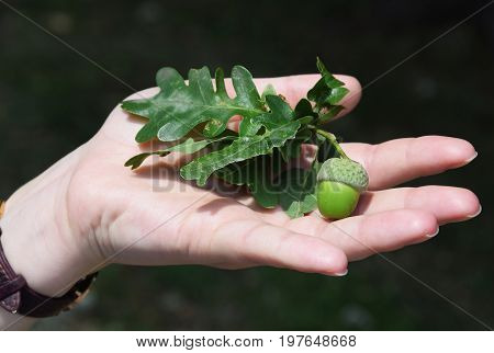 An acorn of holm oak tree in the hand