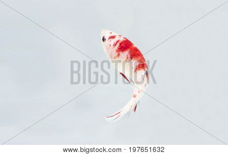 Betta Fish or Fighting Fish (Koi Style) On White Background