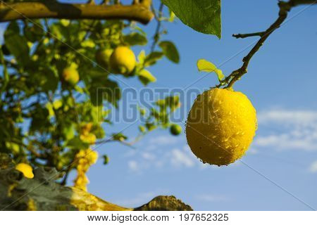 Citrus Fruit Rich In Vitamin C – Ripe Yellow Sicilian Lemons On Lemon Trees, Ready To Harvest