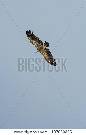 Gyps Fulvus Flight In Uvac Canyon