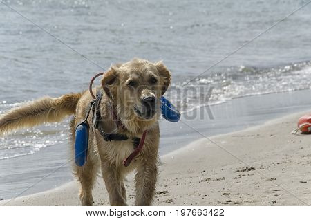 View of rescue dog coming out of the sea