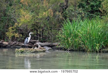 Gray Heron (ardea Cinerea) At Camargue Park On Delta Rhone River, France