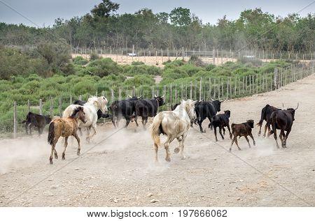 White Horses And Bullfighting Black Bulls Runs. Camargue Park On Delta Rhone River, France