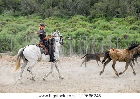 Cowgirl And White Horses At Camargue Park On Delta Rhone River, France