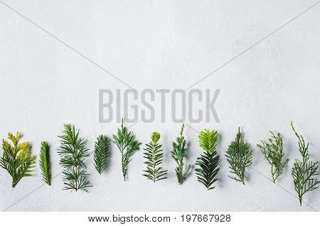 Branches Of Coniferous Plants On A White Concrete Background. Concept Of Nursery Or Landscaping