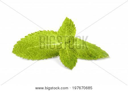 Fresh green leaves of sweet mint, isolated on a white background. Herb leaves from a garden. Ripe and bright green leaf of mint, close-up. Medicinal mint. Spearmint and peppermint.