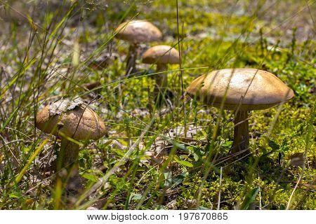 Mushroom. Edible mushroom. A large mushroom. A beautiful mushroom in the forest. Mushroom in the moss.