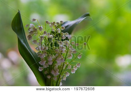 Lilies Of The Valley In Spring. Beautiful Bouquet Of Flowers May-lily