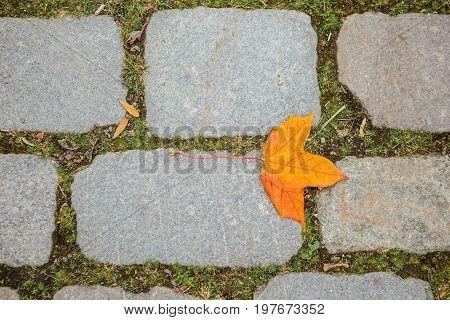 Autumn falling maple leaf on paving stones