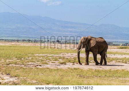 Lonely elephant near Mount Kilimanjaro. Kenya, Africa