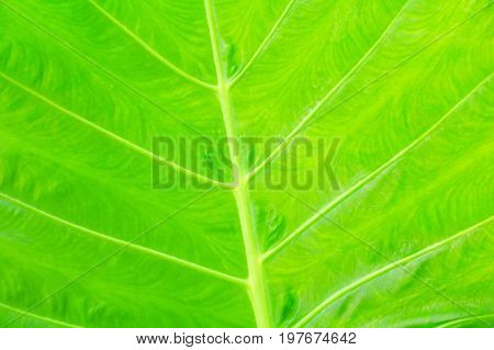 green leaf soft texture beautiful background with copy space add text ( Colocasia esculenta (L.) Schott ARACEAE )