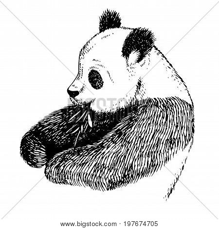 Sketch Panda with bamboo. Engrave ink draw panda illustration. Hand drawn panda bea