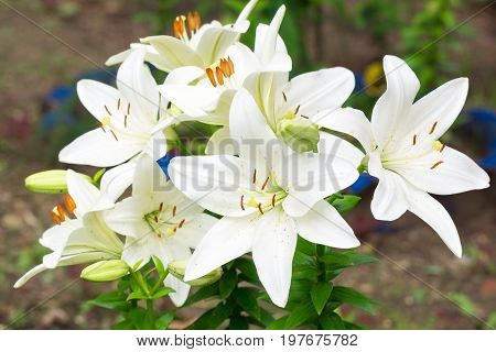 Lilies in the garden White lilies Russia Moscow
