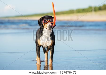 Entlebucher Mountain Dog in snorkel glasses on the beach