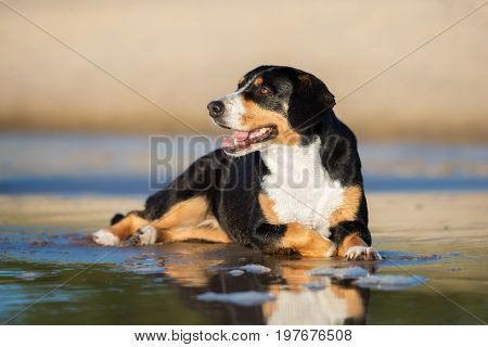 Entlebucher Mountain Dog posing on the beach