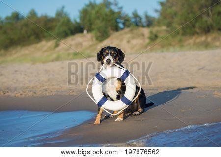 Entlebucher Mountain Dog holding a life buoy on the beach