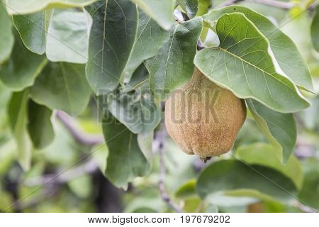 Branch With Immature Quince 2