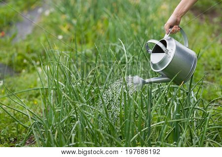 Female hand pouring water from metal watering can. Close-up of woman's hand holding metal watering can and watering onions plants. Gardening concept.